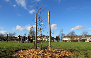 A newly planted fruit tree on housing estate green space