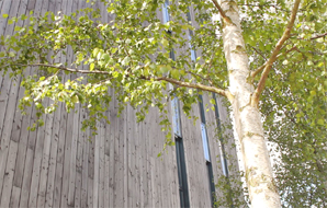 Looking up at a tree in front of a tall, wooden building