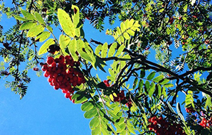 Bunches of bright red rowan berries