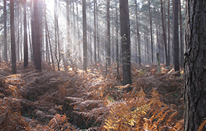 Winter sunlight filtering down to brown bracken on the forest floor
