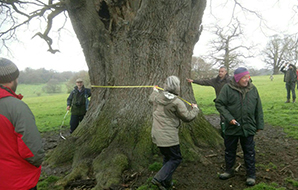 People measuring the girth of a large tree with a tape measure
