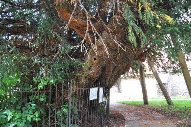 Ancient yew tree surrounded by iron railings