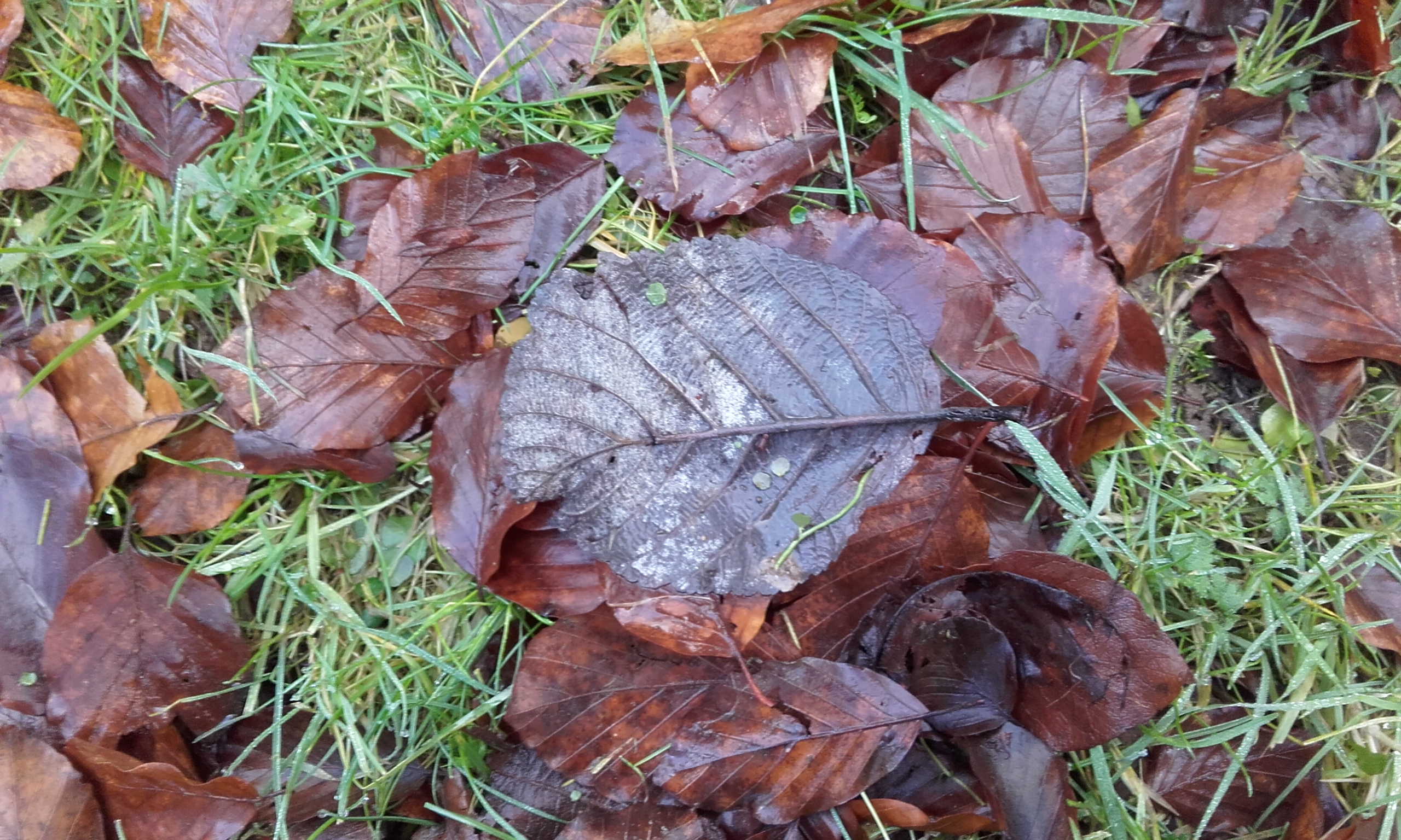 Fallen beech leaves on the wet ground