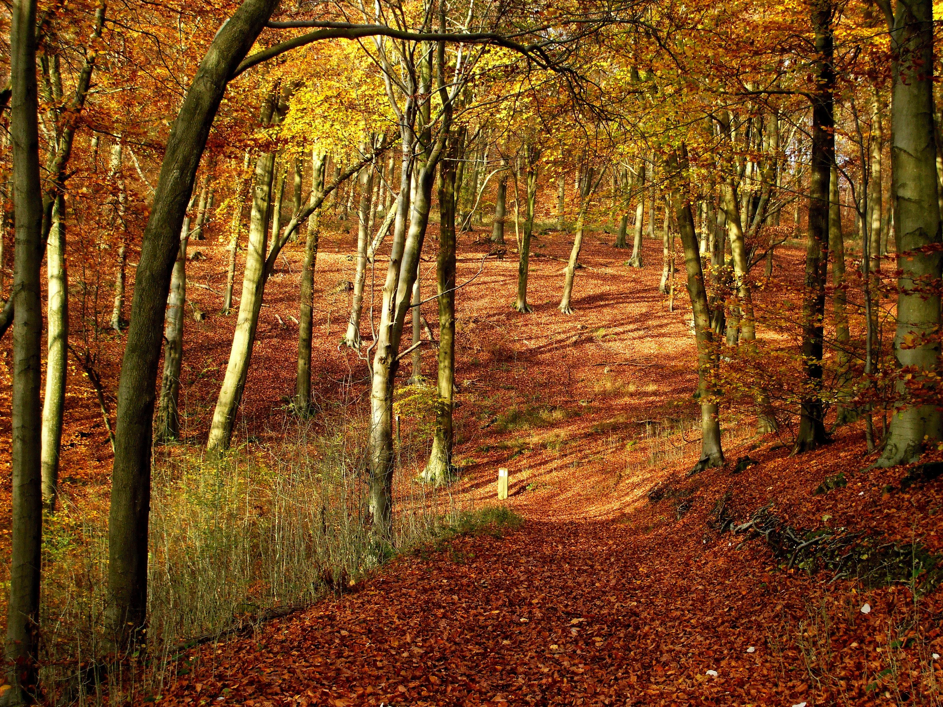 Woodland in autumn with the floor covered in orange leaves