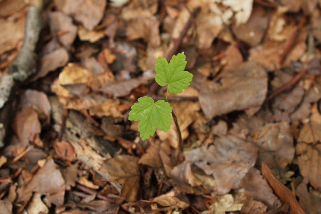 Ting seedling germinating in the woodland floor