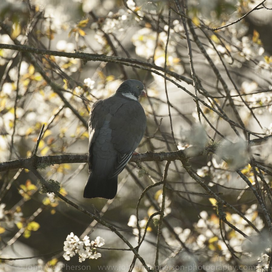 Wood pigeon perched amongst white tree blossom