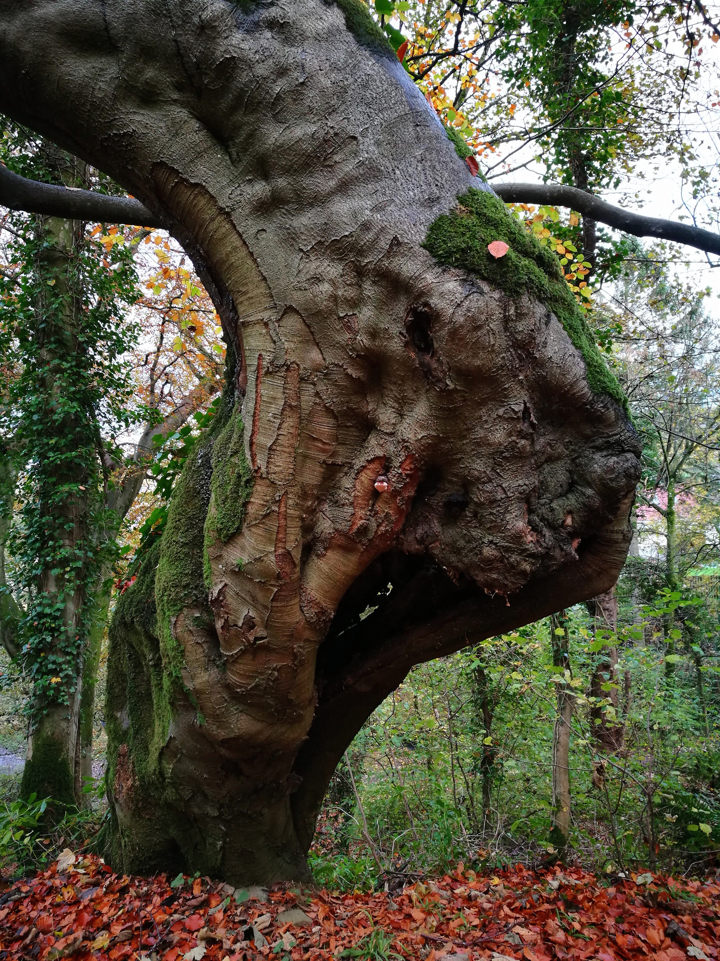 The unusually shaped trunk of a veteran tree